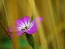 dsc_0123-kwiatek-biedronki