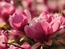 dsc_0154-magnolia