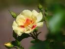DSC_3103 roza