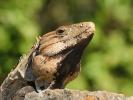 Smok Iguana
