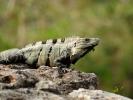 Uxmal iguana