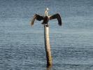 W drodze pelikany