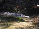 dsc_0625-krokodyl
