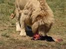 """""""Lion park"""" rezerwat prywatny - Lew lunch"""