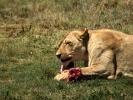 """""""Lion park"""" rezerwat prywatny - Lwica"""