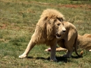 """""""Lion park"""" rezerwat prywatny - Lew"""