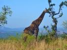 Park Krugera - Żyrafa