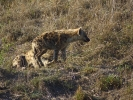 Park Krugera - Hiena centkowana