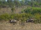 Park Krugera - Gnu pręgowane