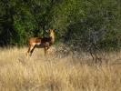 Park Krugera - Antylopa Impala