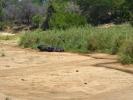 Park Krugera - Bawoły