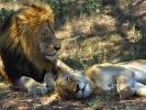 Park Krugera - Lew i lwica