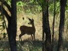 Park Krugera - Antylopa Stenbok