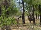 Park Krugera - Antylopa