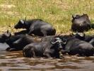 Park Krugera - Bawół