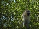 Park Krugera - Małpa