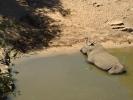 Park Krugera - Nosorożec