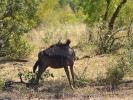 Park Krugera - Antylopa Gnu