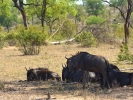 Park Krugera - Antylopa Gnu pręgowane