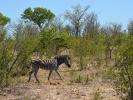 Park Krugera - Zebra