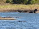 Park Krugera - Hipopotam i bawół