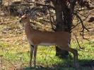 Park Krugera - Antylopa Oribi