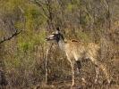 Park Krugera - Antylopa Kudu