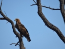 Park Krugera - orzeł wahleberga