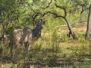 Park Krugera - Antylopa Niala grzywiasta
