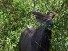 Rezerwat Hluhluwe - Antylopa Niala grzywiasta