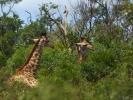 Rezerwat Hluhluwe - Żyrafa