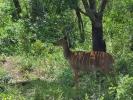 Rezerwat Hluhluwe - Antrylopa kudu młoda samica