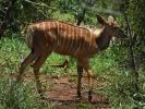 Rezerwat Hluhluwe - Antrylopa kudu