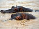 DSaint Lucia Estuarium - Hipopotam