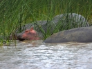 Saint Lucia Estuarium - Hipopotam