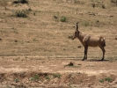 Rezerwat Addo - Antylopa Bawolec