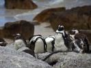 Zatoka Fałszywa - Pingwiny