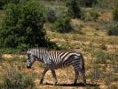 Rezerwat Addo - Zebra