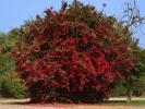 Oudtshoom-Kwiatek drzewo