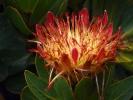 Kapsztad - Ogrod Kirstenbosch - kwiat protea