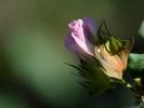W drodze do Buchary kwiat bawelny