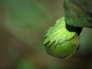 W drodze do Buchary bawelna owoc