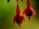 dsc_0300-kwiatki-czerwone